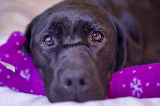 Cane Labrador mette in salvo un bimbo malato di diabete tipo 1