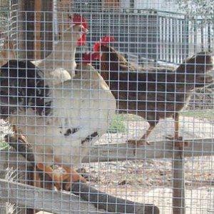 Vigevano, ladro di galline è gravissimo è stato colpito da una freccia