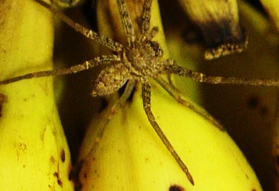 Terrore in un supermercato, trovato un grosso ragno tra le banane, il negozio è stato subito evacuato
