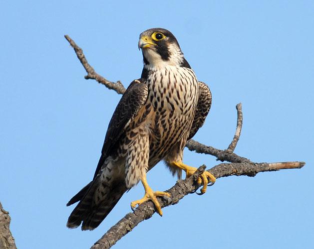 Camera, utilizzato come a Bari un falco per dichiarare guerra ai piccioni