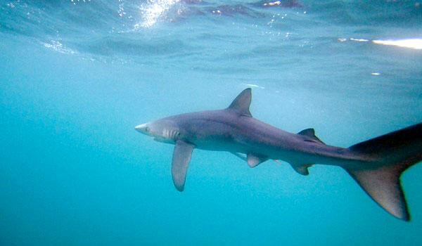 Terrore a Polignano 2. Tutta la verità sull'attacco dello squalo al delfino