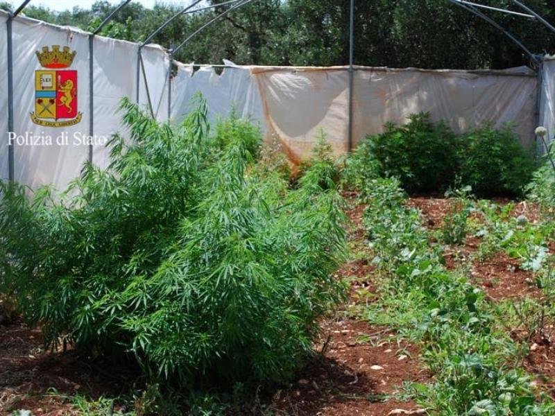 Monopoli, contadino – spacciatore coltivava cannabis e pomodori.