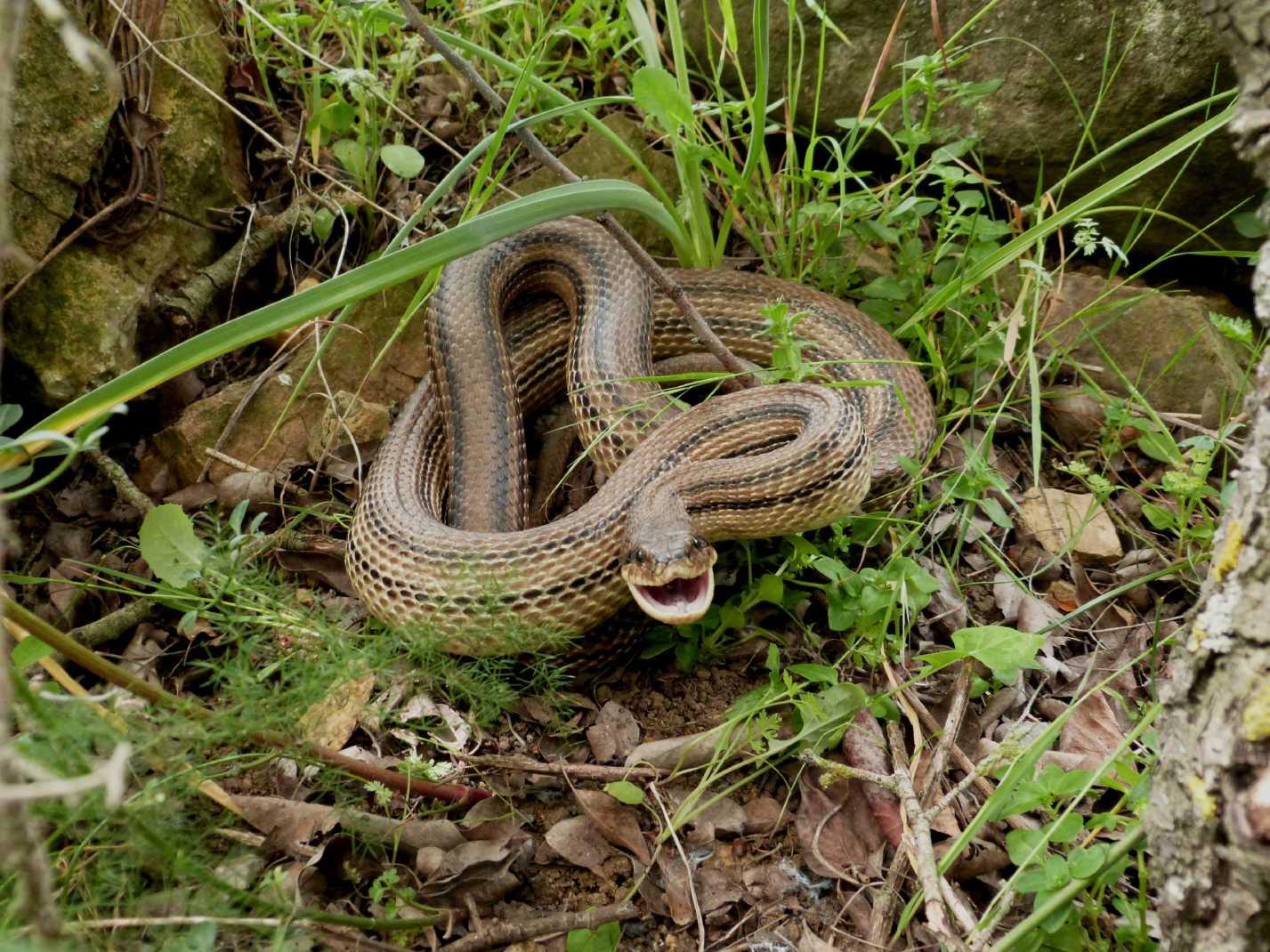 Bari paura tra i passanti, catturato dalla Forestale grosso serpente nelle vicinanze del Policlinico