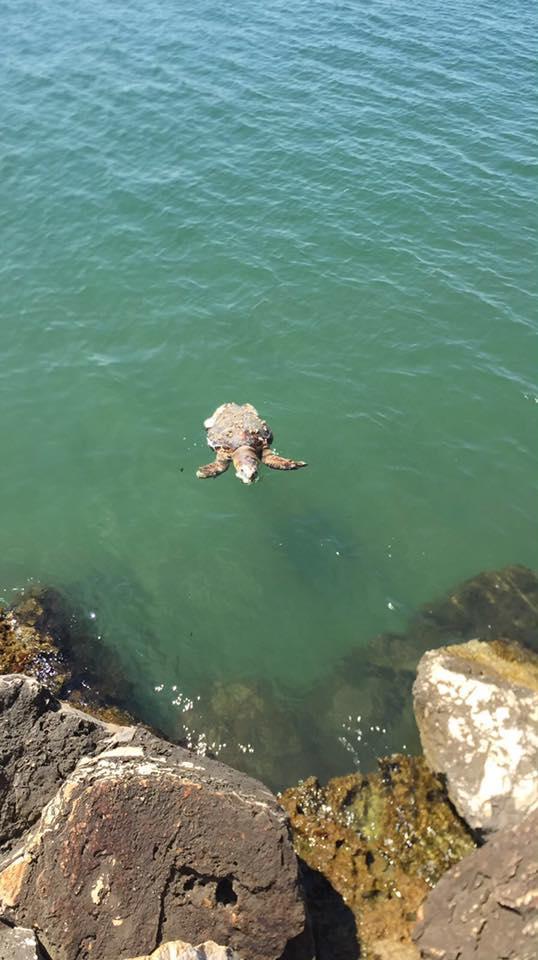 Barletta, un'altra tartaruga avvistata in fin di vita. Cosa sta succedendo nell'Adriatico?