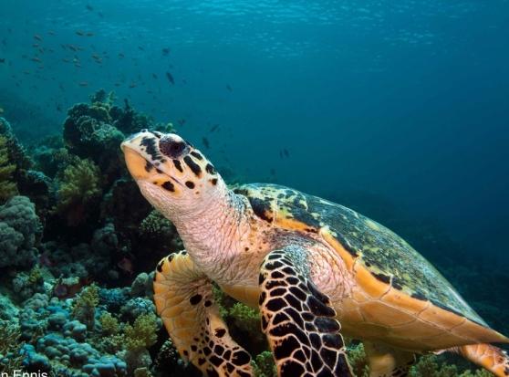 Bari,  grande emozione per gruppo di sub nelle vicinanze di Palese nuotano con due enormi rarissime tartarughe caretta caretta