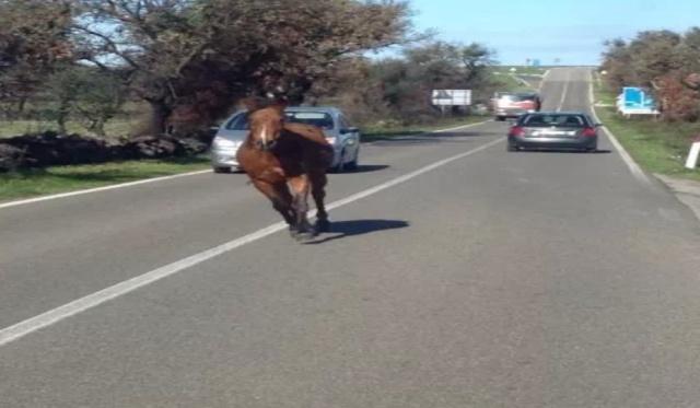 Panico a Manfredonia, un cavallo scappa da un'azienda, corre per le strade, finisce su due auto e muore