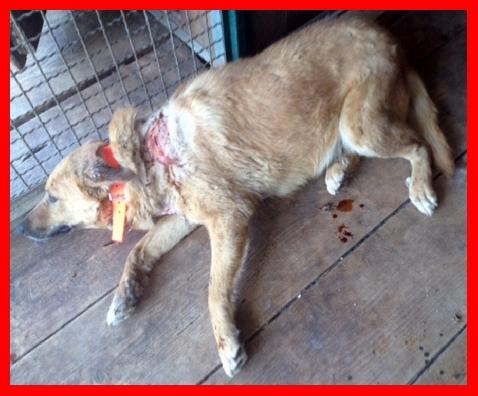 A Bitonto ladri svaligiano appartamento e picchiano a sangue il cane, paralizzato