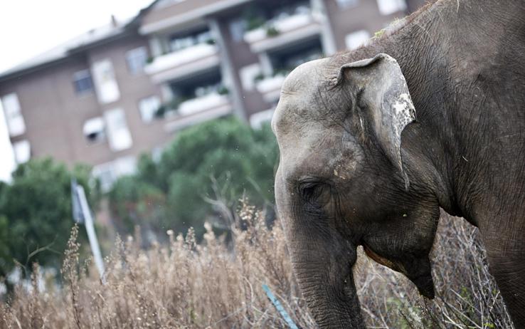 A Castellana un elefante passeggia per le strade, esce dal circo e si allontana