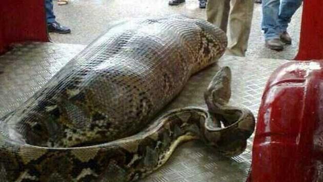 Enorme anaconda divora un uomo. Primo caso in Italia. Le foto incredibili.