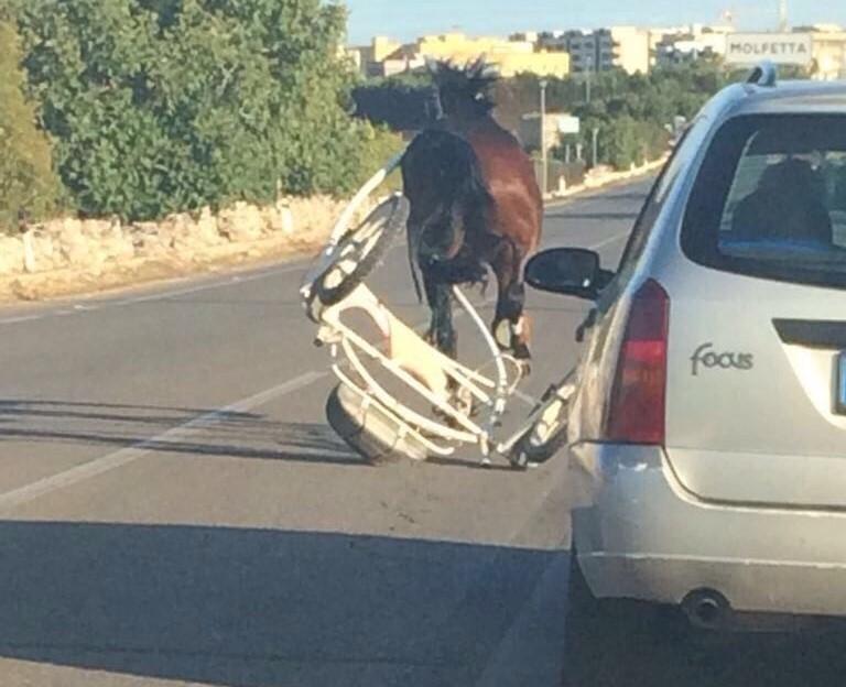 Nel barese, cavallo imbizzarrito contromano su strada provinciale nessuno riesce a fermarlo, panico tra automobilisti