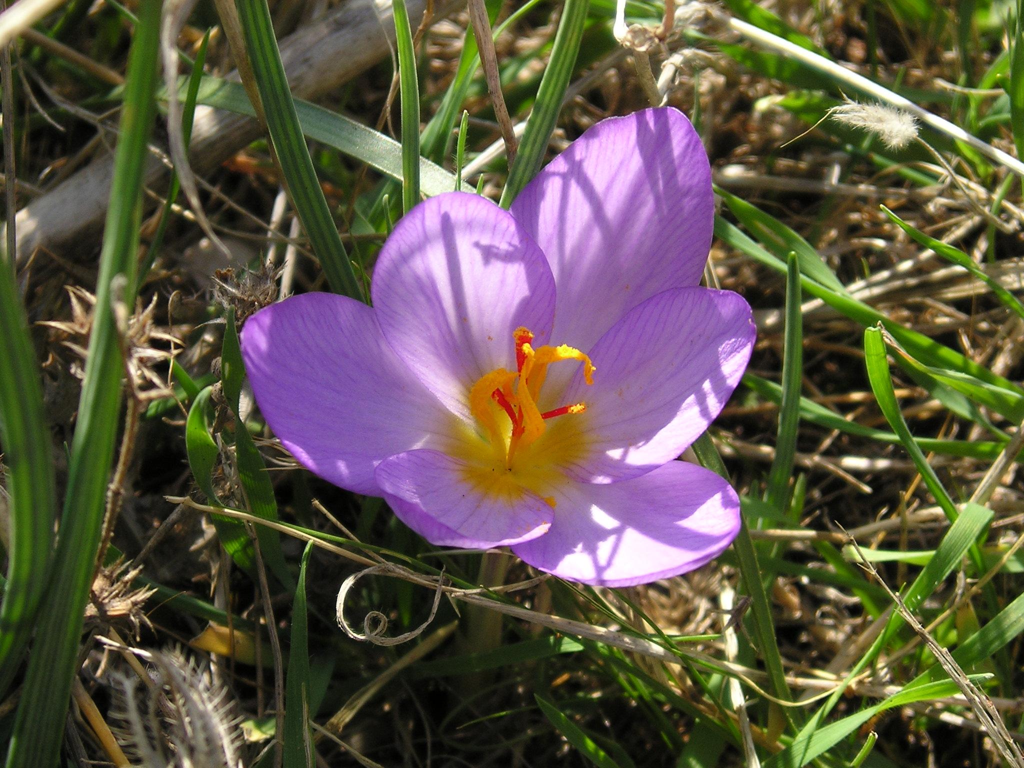Due coniugi raccolgono erba velenosa credendo sia zafferano, muoiono entrambi