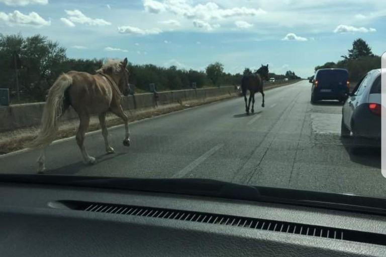 Strada provinciale 231 direzione Bari, pericolo per molti automobilisti due cavalli invadono la carreggiata