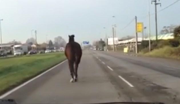 Puglia, cavallo a spasso per strada alla periferia della città, paura per automobilisti