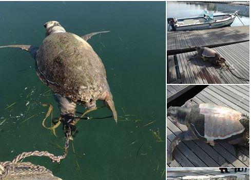 Taranto: uccisa tartaruga, WWF: