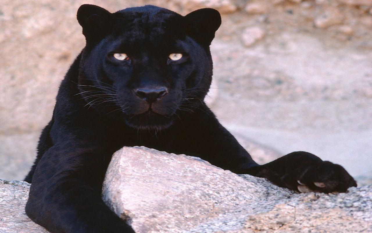 Puglia, avvistato un grosso felino, si pensa possa essere o un Ghepardo o una pantera, paura tra la gente