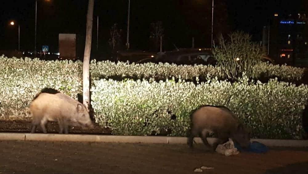 Caccia grossa. Catturati 44 cinghiali al rione San Paolo a Bari