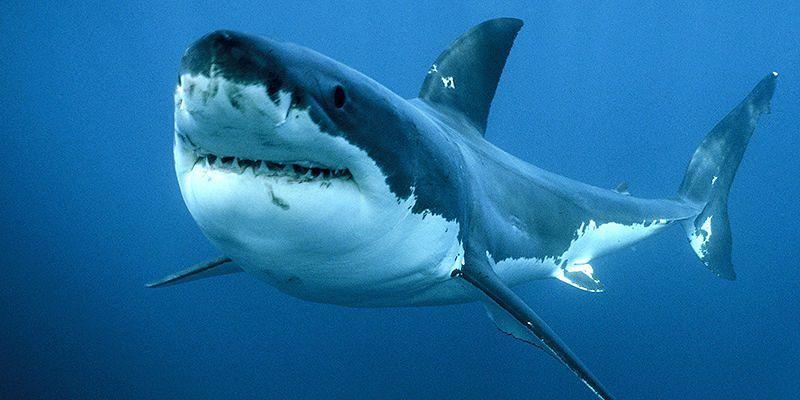 Avvistato enorme squalo all'isola di Maiorca, è il primo dopo 40 anni dalla cattura di un gigantesco esemplare in Puglia