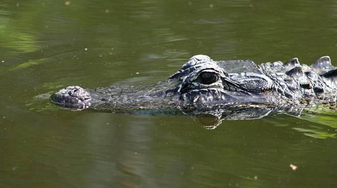 Alessandria, scoperta choc nel depuratore c'è un grosso coccodrillo, paura in paese
