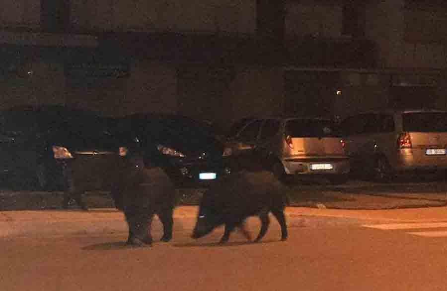 Bari, schianto tra auto e cinghiale sulla strada per aeroporto, macchina distrutta, animale ferito