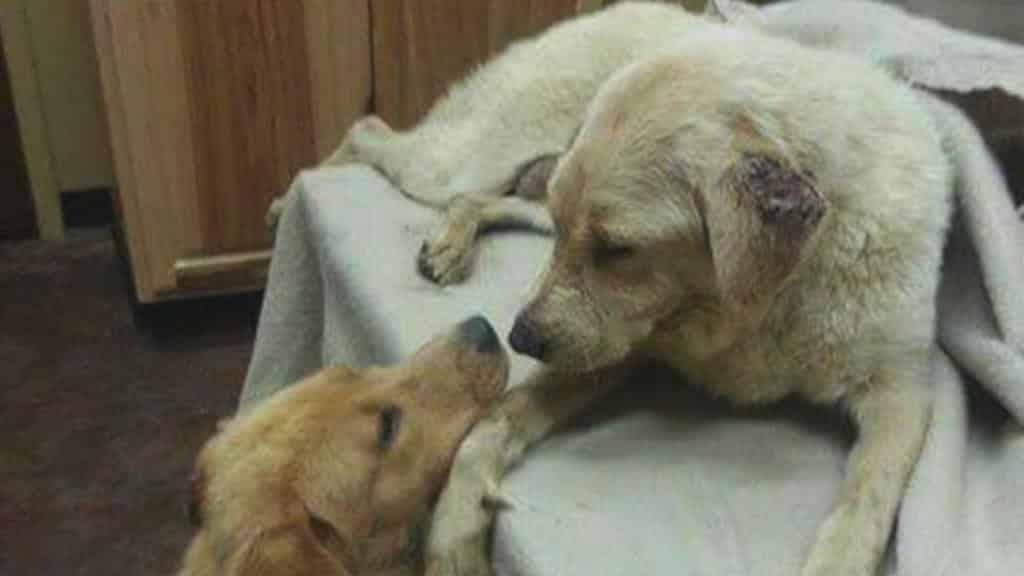 Cagnolina randagia ha bisogno di un trapianto di rene, il donatore è un suo cucciolo