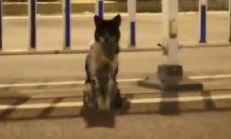 Solo e malnutrito, cane da tre mesi non si muove dal punto in cui la padrona è stata investita e uccisa