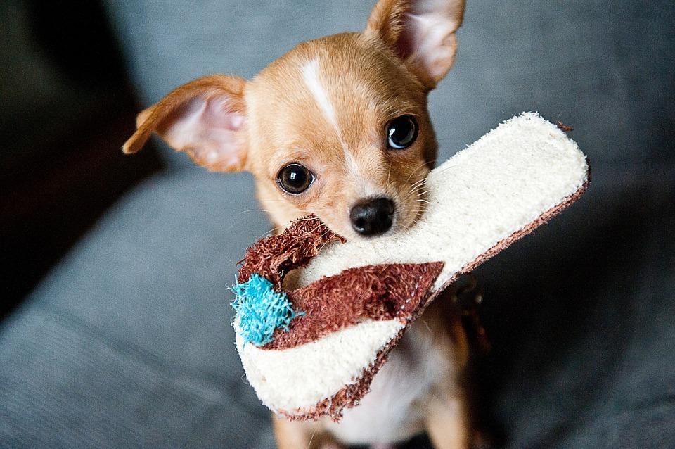 Pensa che la moglie ama più i cani rispetto a lui, prende gli animali e li lancia dal balcone, muore uno chihuahua