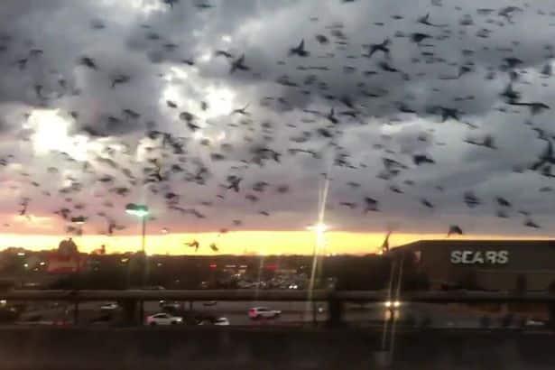 Grandissimo stormo di uccelli invade un'autostrada come nel fil horror di Hitchcock