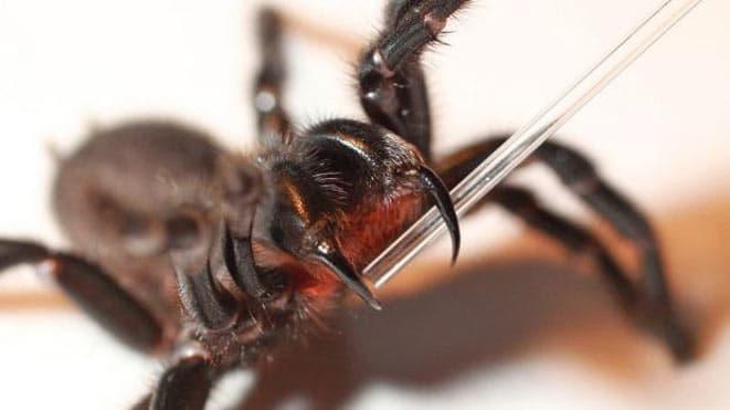 Trova un enorme ragno sotto il letto, è viva per miracolo, il veleno uccide in soli 15 minuti