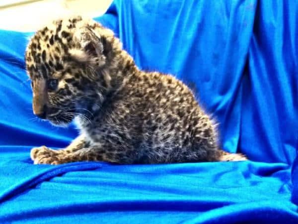 In aeroporto nel bagagliaio di un uomo ritrovato il cucciolo di un leopardo di solo un mese