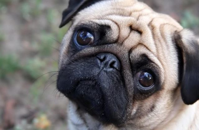 Non pagano le tasse comprese quelle per il loro cane, le autorità pignorano il carlino e lo vendono su ebay