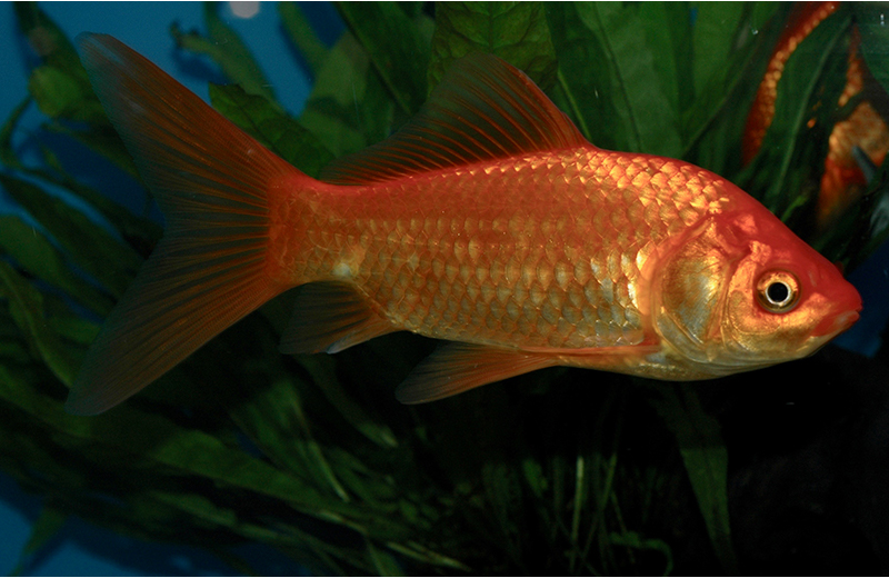 Ragazza viene lasciata dal fidanzato, gli toglie i pesci rossi, li cucina e li mangia