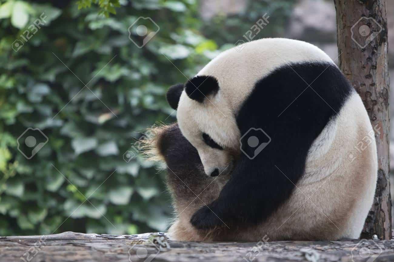 Turista ubriaco nello zoo entra nella gabbia di un Panda credendo che fosse un peluche lo abbraccia, la reazione dell'animale è terribile
