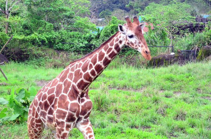 Giraffa killer, uccide un regista che la stava riprendendo con un improvviso colpo di collo