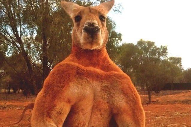 Australia, canguro eccitato gigantesco è l'incubo delle donne, le importuna mentre fanno jogging