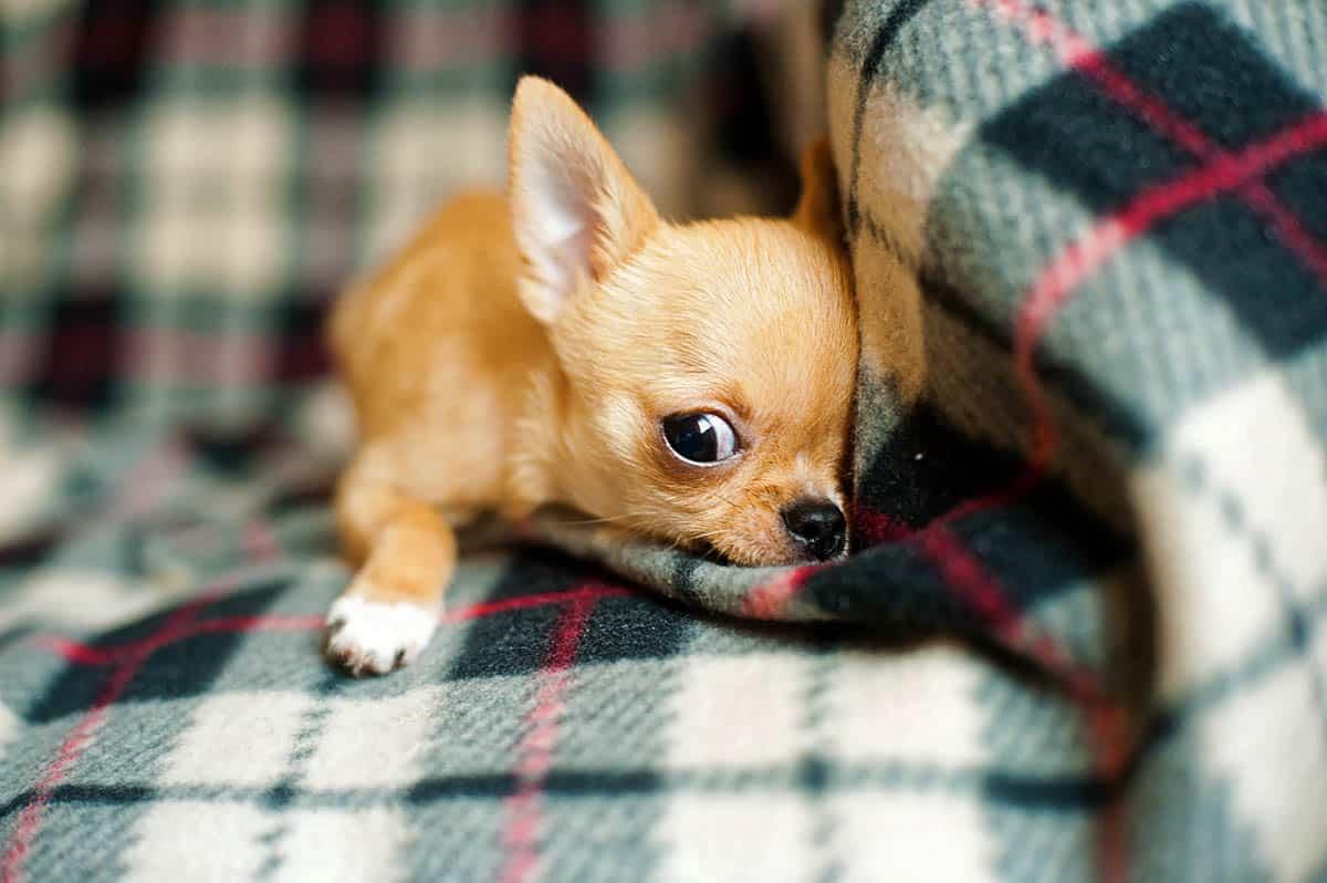 Il marito accusa la moglie di amare più i cani rispetto a lui, si vendica con i due chihuahua in un modo tremendamente assurdo