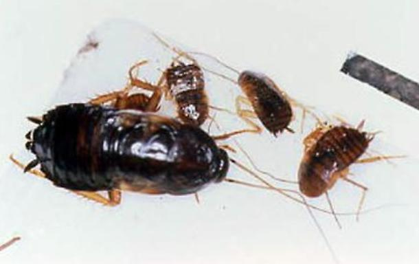 Ha l'abitudine di lasciare del cibo sul comodino vicino al letto, si ritrova dentro l'orecchio uova di scarafaggi