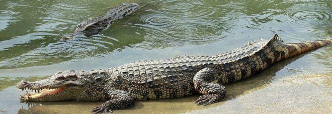 Pensa sia un tronco ci cammina su ma era un coccodrillo, quello che accade dopo è terribile