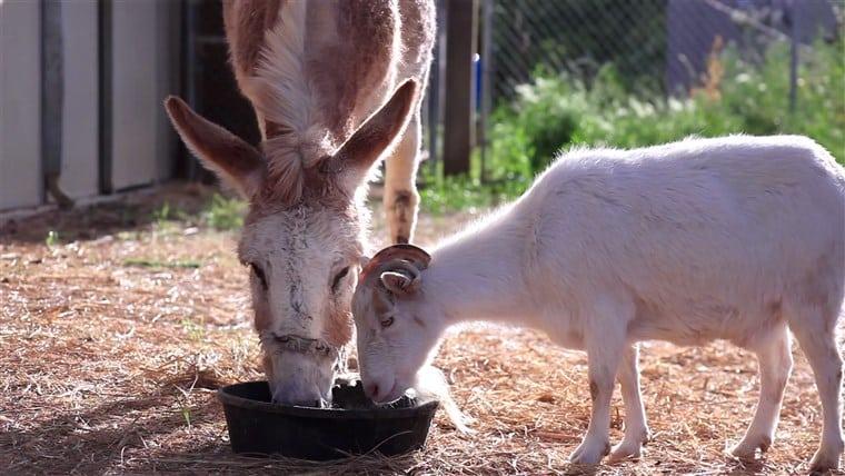 Una capra non tocca più il cibo, nessuno capisce il perché ma il motivo è il più banale