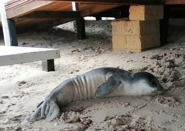 Salento, era stata avvistata solo qualche giorno fa, ma il cucciolo di foca monaca non ce l'ha fatta