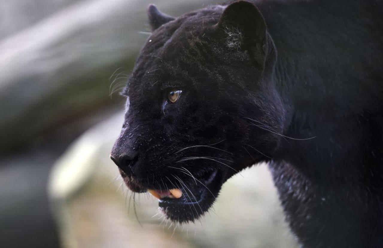 San Severo, nuovi avvistamenti della Pantera Nera, il grande felino preda nelle prime ore del mattino, massima attenzione per le persone che vivono in campagna