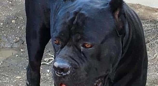 Tricase, bimbo di 8 mesi azzannato alla testa da grosso cane di famiglia, muore per le lacerazioni riportate