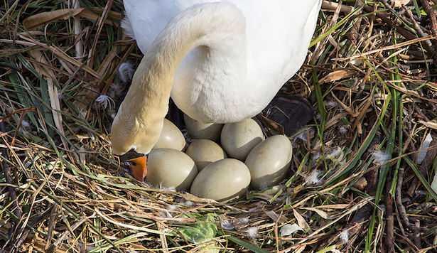 Follia crudele, presa a sassata mamma cigno e le sue uova, uccisi tutti i suoi pulcini