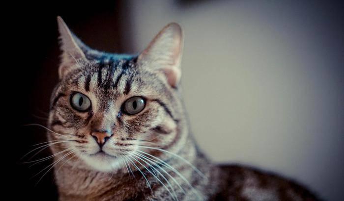 Gatto morde la proprietaria e muore, aveva contratto un rarissimo virus da un pipistrello, profilassi per le persone che hanno avuto contatti con il felino