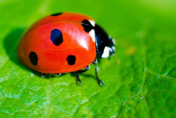 Bari, invasa dalle coccinelle, il lockdown le ha favorite, perché si dice che sia un insetto portafortuna?
