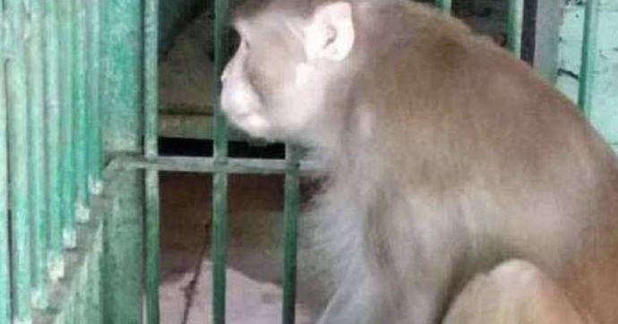 Scimmia morde, ferendo gravemente, 250 persone di cui una muore, violenta perchè in crisi d'astinenza da alcol